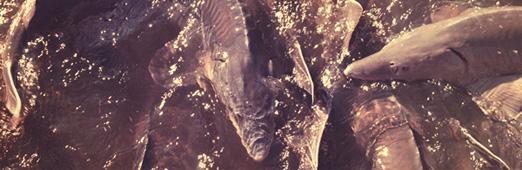 größter heute lebender fisch